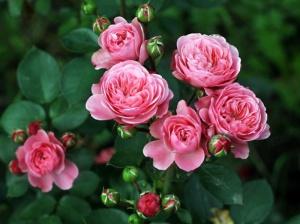 Чем хороши кустовые розы?